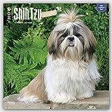 Shih Tzu Puppies 2017 Square (Multilingual Edition)