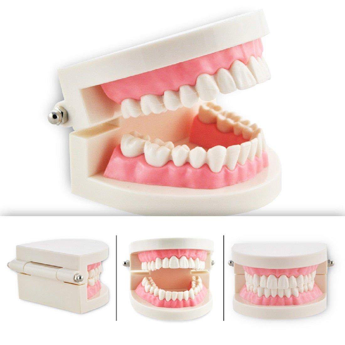 Tinsay 1 Piece Dental Dentist Flesh Pink Gums Standard Teeth Model Tooth Teaching Model