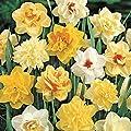 Fragrant Yellow, White, Orange, Salmon Daffodil Bulbs Mix - Narcissus Fluffy Doubles Daffodil Mix - 15/17 cm