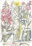 WILLOW-HERB:Rose Bay;Evening Primrose;Great Hairy;Square Stalked;Nightshade;1907
