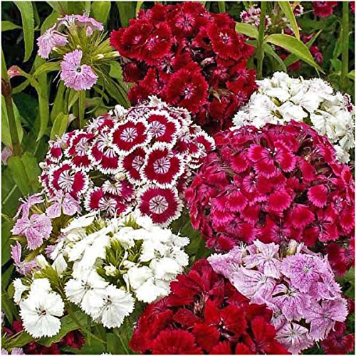 Package of 2,000 Seeds, Sweet William Mixture (Dianthus barbatus) Open Pollinated Seeds by Seed Needs Dianthus Barbatus