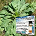 Wild Lettuce Seeds (Lactuca virosa) 10+ Rare Medicinal Herb Seeds in FROZEN SEED CAPSULES for the Gardener & Rare Seeds Collector, Plant Seeds Now or Save Seeds for Years