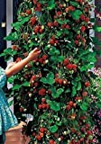 leading-star 100pcs Red Strawberry Climbing strawberry fruits seeds by leading-star