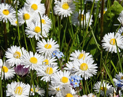 English Lawn Daisy Mix, Lawns and Borders - 1000 Seeds - Bellis Perennis (Shade English)