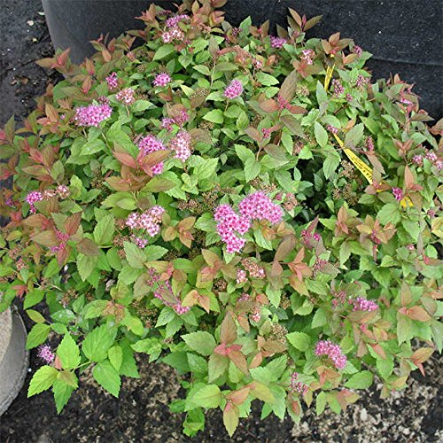 Magic Carpet Spirea Potted
