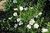 Crimson-Spot Rockrose aka Cistus ladanifer Live Plant Fit 5 Gallon Pot