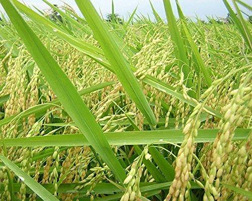 Seeds Rice (Rex Long Grain Rice Heirloom Non-GMO Garden Vegetable Crop (~500 Seeds))