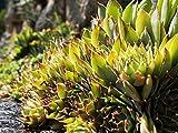 Home Comforts Laminated Poster Plant Houseleek Nature Tectorum Sempervivum Green Poster Print