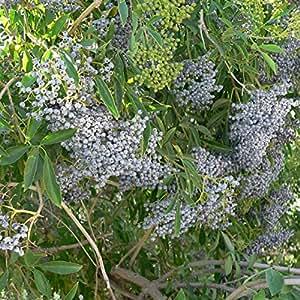 10+ Golden Sambucus Elderberry Seeds