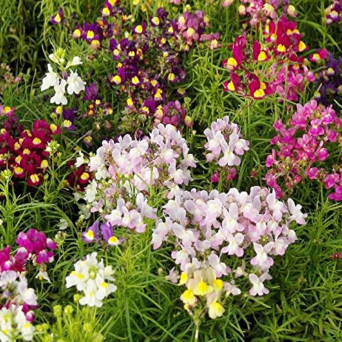 - Toadflax/Spurred Snapdragon Seeds - Packet, Pink/Yellow/Violet, Flower Seeds