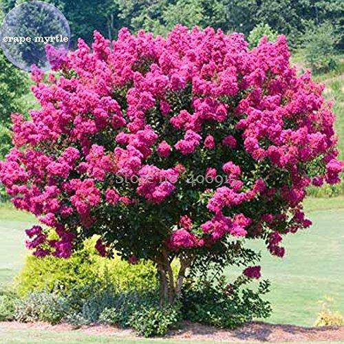 2018 Hot Sale Davitu Pink Velour Crape Myrtle, 30 Seeds, Impressive Ornamental Trees E3986 ()