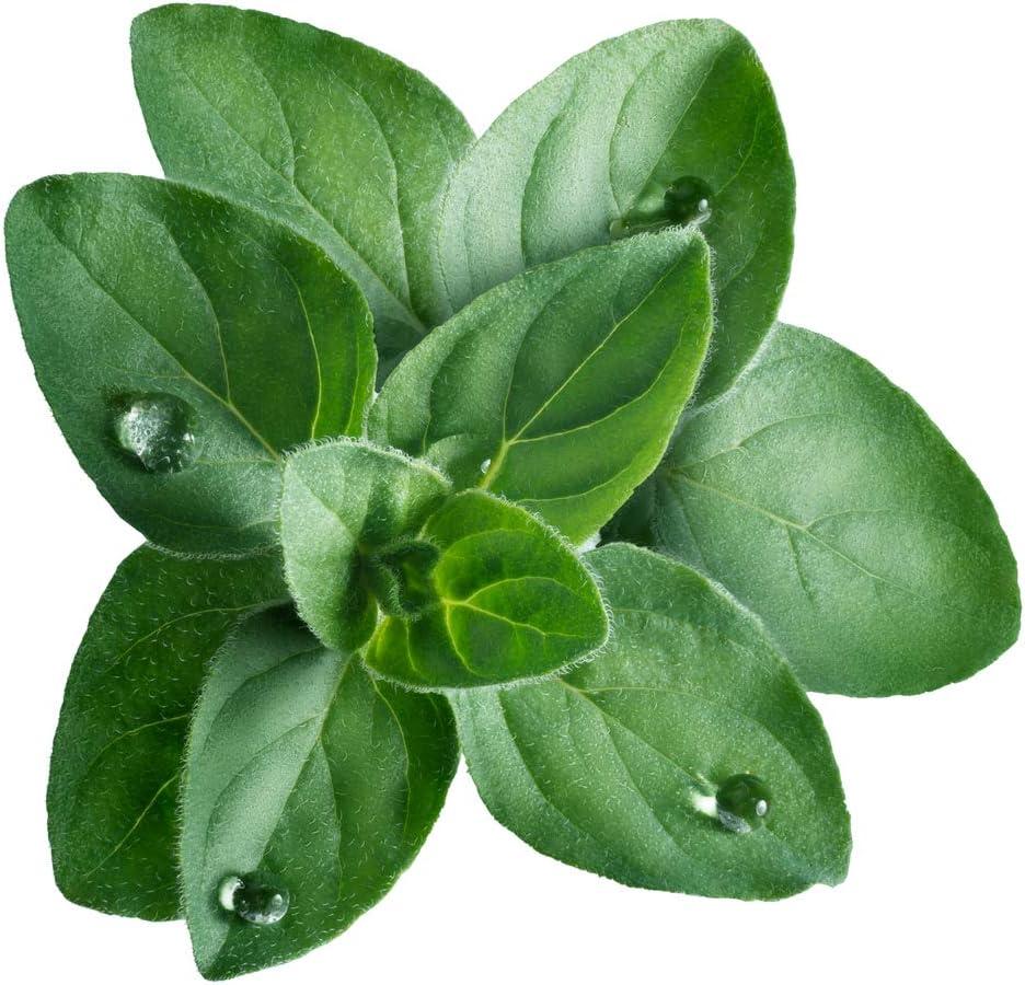 800 Greek Oregano Fresh Organic Seeds Mediterranean Cooking Herbs Seeds Planting