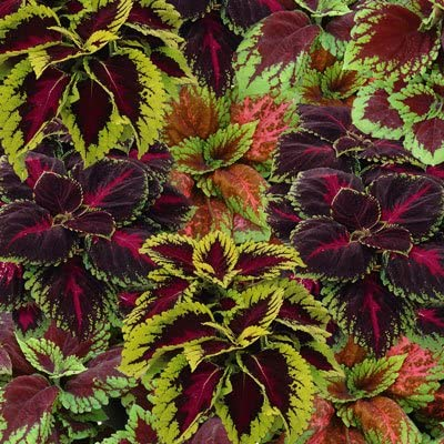Kong Scarlet Flower Coleus 10 Pelleted Seeds
