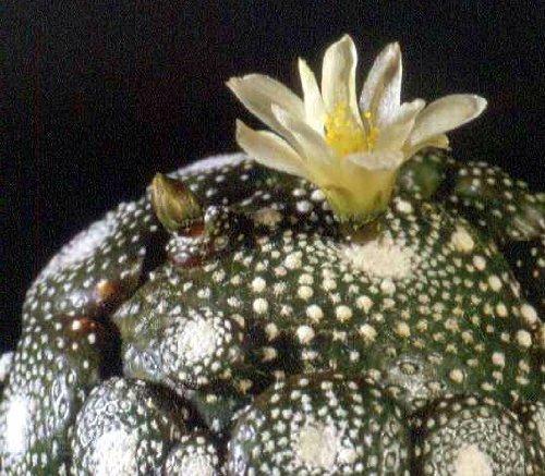 Blossfeldia liliputana - 20 seeds CactusPlaza.com
