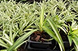 Cheap Ocean Spider Plant – Easy to Grow – Cleans the Air – NEW – 3.5″ Pot
