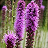 Package of 700 Seeds, Gayfeather (Liatris spicata) Open Pollinated Seeds By Seed Needs