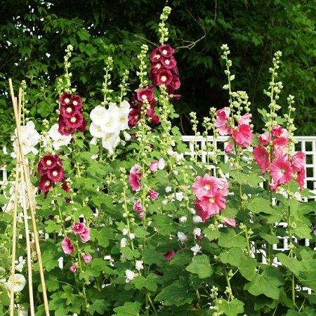 Light Magenta Package (Hollyhock Seeds - Indian Spring Mix - Ounce, Light Pink/Dark Pink/Magenta Flowers)