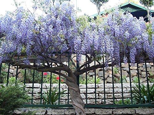 Violet Wisteria Tree - 1 Chinese Wisteria Plants - Velvety Blue Violet