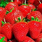 Everbearing Day Neutral Strawberry Plants - Best Berry! - Bare Root Plants ONLY by Mr Stacky Berries (100 Plants)