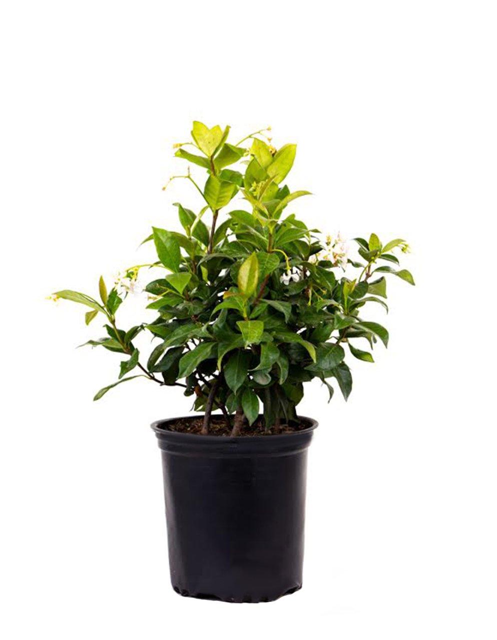 AMERICAN PLANT EXCHANGE Confederate Jasmine 1 Gallon Live Plant, 6'' Pot, Green by AMERICAN PLANT EXCHANGE