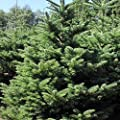 100 Noble FIR Tree Seeds Evergreen Christmas Tree Landscape Christmas Gift