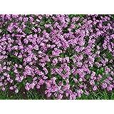 100 Victoria PINK FORGET ME NOT Myosotis Sylvatica Flower Seeds +Gift & Comb S/H