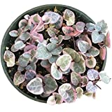 VARIEGATED String of Hearts Ceropegia Woodii Plant Rosary Vines Succulent - Easy To Grow (4 inch)