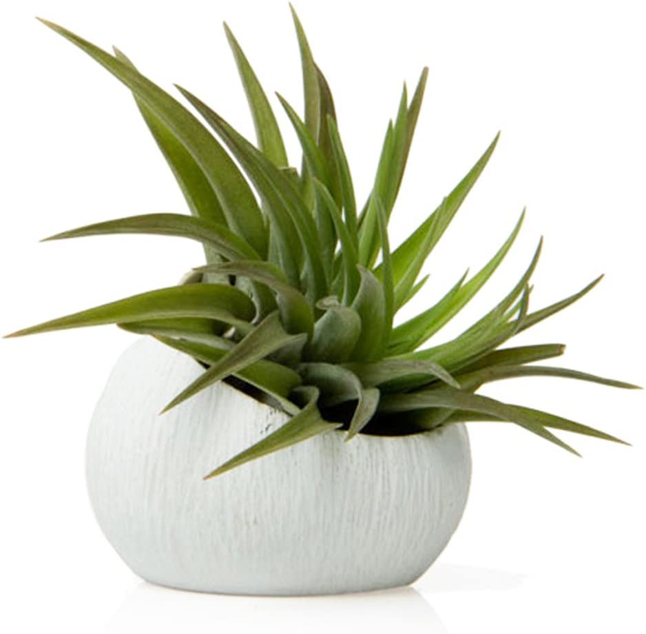 Chive – Set of 3 Koski, Small Round Ceramic Air Plant Container, Succulent and Cactus Mini Pot, Tillandsia Bromeliad Display, Airplant Holder for Indoor Garden and Home Decor White, Brown, Black