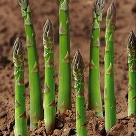 80 Seeds Economy Asparagus Mary Washington Vegetable