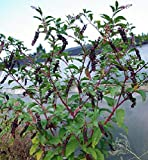 1 Packet - 100 Seeds of Poke Domestic/Phytolacca Americana