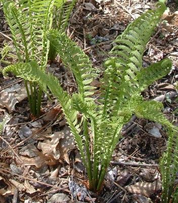 Classy Groundcovers - Dennstaedtia punctilobula {10 Bare Root Plants} by Classy Groundcovers (Image #4)