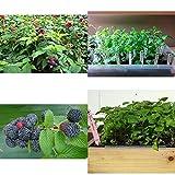 SS0144 Raspberry Plants Mysore Black Rasp Includes Four 4 Plants 3-5 Inches Tall Garden