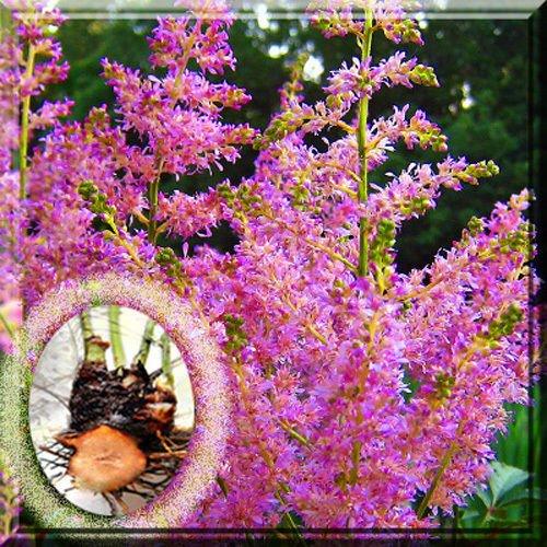 HIGH Germination Seeds:2 Clumps : Purple Amethyst Astilbe False Spirea 1~4 Seed Clump - Spirea Astilbe False