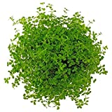 Micranthemum Monte Carlo New Large Pearl Grass Live Aquatic Plant Potted for Aquarium Freshwater Fish Tank by Exotic PlantBuy 2 Get 1 Free
