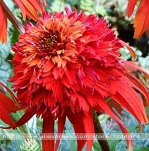 Nueva variedad de 100 semillas / semilla del crisantemo bolsa de la herencia Echinacea 'Milkshake', semillas de flores raras para el hogar y el jardín