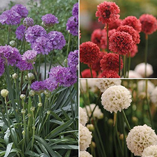 - Ballerina Series Armeria Mix - 30 Seeds - Red, White, Lilac