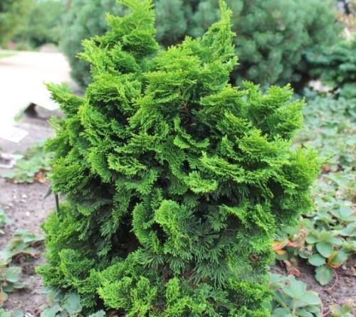 Dwarf Hinoki Cypress (nana gracilis) - Live Plant - 3 Inch Pot