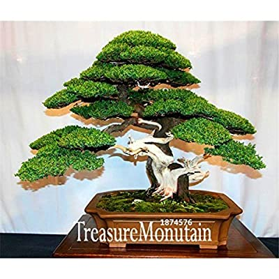 Big Sale!10 Seed/Pack juniper bonsai tree potted flowers office bonsai purify the air absorb harmful gases, #NPKQEP : Grocery & Gourmet Food