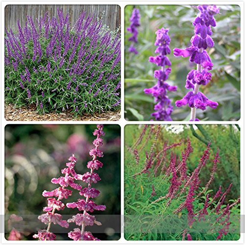 ADB Inc Salvia Leucantha Imported Mexican Bush Sage Pink Flower Seeds