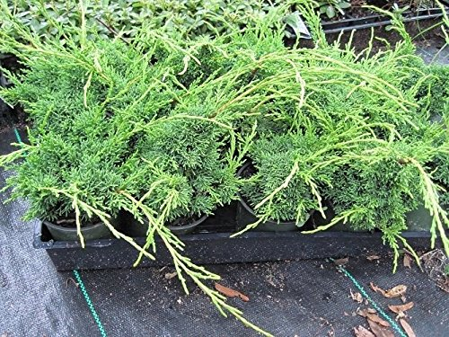 - Shimpaku Juniper, Evergreen, Great for bonsai, TEN plants allseasonsgardenshop09