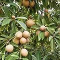 Sapodilla Tree; Chewing Gum Tree (Manilkara zapota) 3 Rare Organic Tropical Fruit Tree Seeds