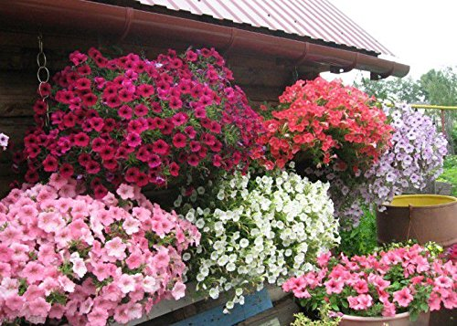 (Petunia Cascade Fortune F1 MIX Flower Seeds)