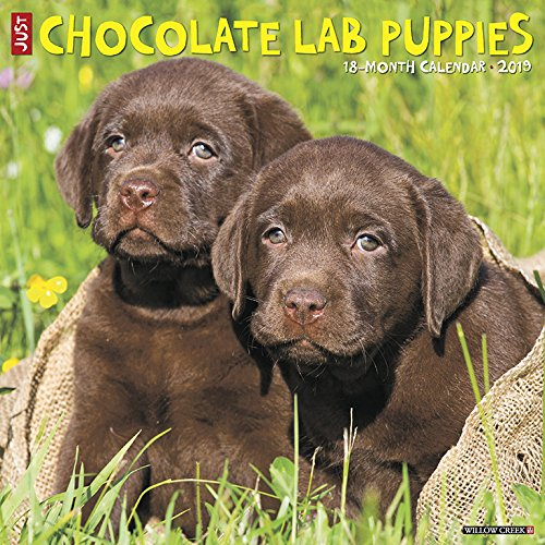 Just Chocolate Lab Puppies 2019 Wall Calendar (Dog Breed Calendar) Willow Creek Press 1549200755 Calendars NON-CLASSIFIABLE