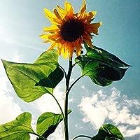 lot de 15 Graines de tournesol semence fleur 2m50 envoi de france sous 48h graines certifié