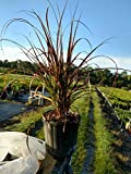 PlantVine Pennisetum advena 'Rubrum', Fountain Grass Red - Large - 8-10 Inch Pot (3 Gallon), Live Plant - 4 Pack