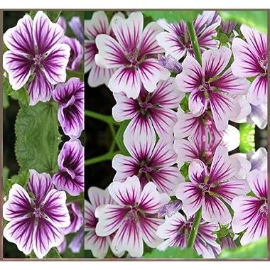 15 STUNNING FRENCH HOLLYHOCK ~ MALVA ZEBRINA~ FLOWER SEEDS