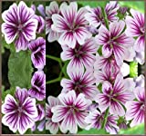 15 x ZEBRINA HOLLYHOCK Seed – STUNNING FRENCH HOLLYHOCK ~ Contrasting Violet Stripes – MALVA ZEBRINA ~ FLOWER SEEDS – By MySeeds.Co Review