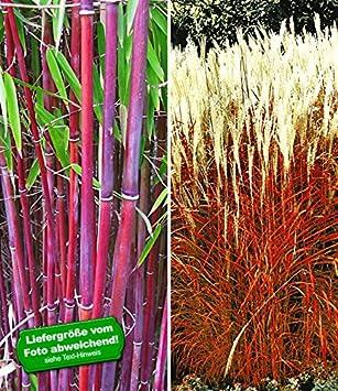 Garten Gräser baldur garten gräser kollektion 2 pflanzen amazon de garten