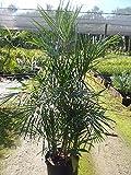 PlantVine Chamaedorea seifrizii, Reed Palm, Bamboo Palm, Seifriz's Bamboo Palm - Large - 8-10 Inch Pot (3 Gallon), Live Indoor Plant
