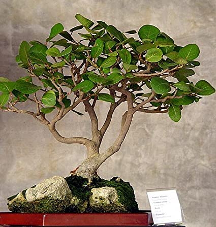 Amazoncom Sea Grape 10 Seeds Coccoloba Uvifera Bonsaihouseplant